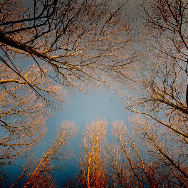 """An autumn evening looking up through some trees"" stock image"