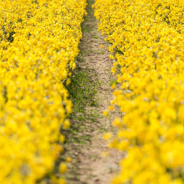 """Daffodil Infinity"" stock image"