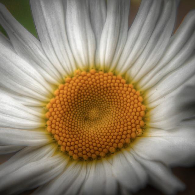 """white daisy"" stock image"