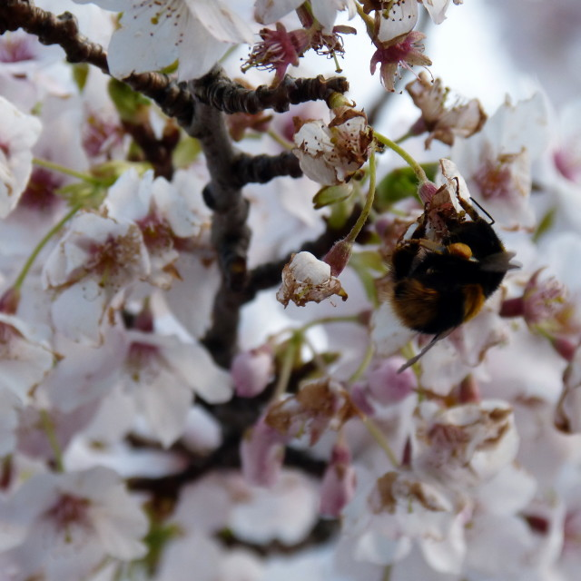 """Bee on a Cherry Tree"" stock image"