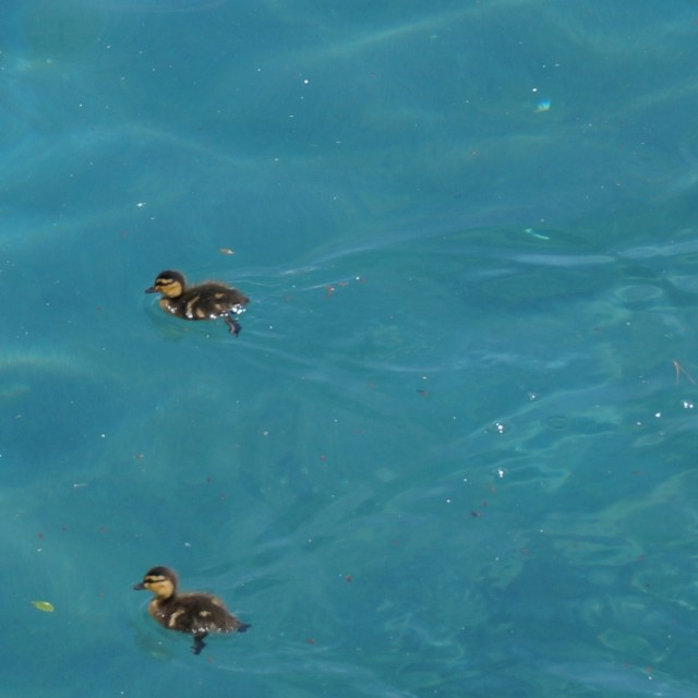 """Trio of ducklings out for a swim"" stock image"