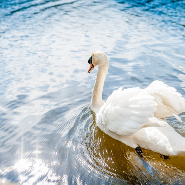 """Swan in summer sunshine."" stock image"