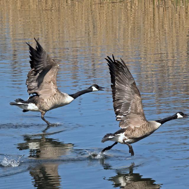 """""""Canada Goose pair."""" stock image"""