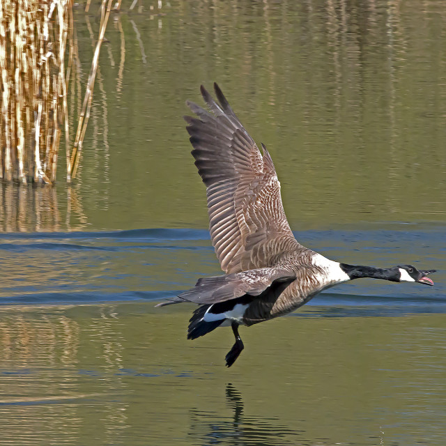 """Canada Goose."" stock image"