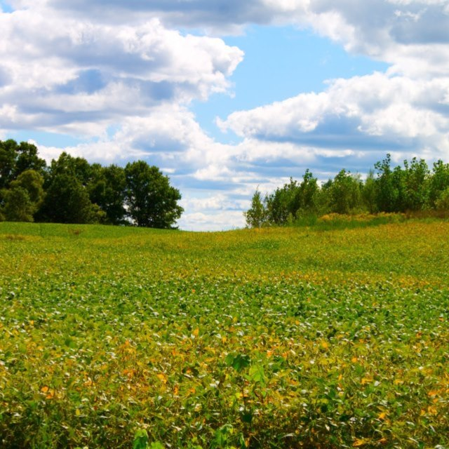 """Michigan Soybean Field"" stock image"