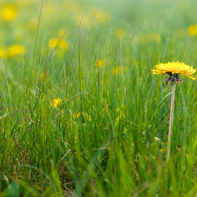 """Natural Dandelions in Spring"" stock image"