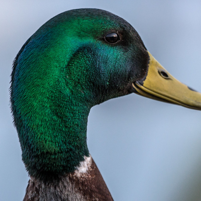 """Male mallard head"" stock image"