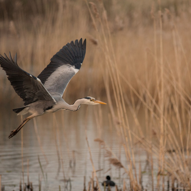 """Heron in wetlands flight"" stock image"