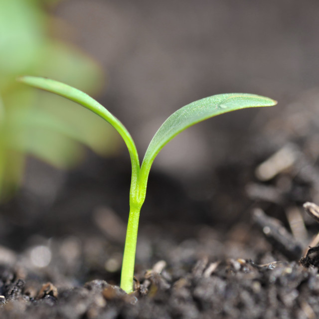 """seedlings"" stock image"