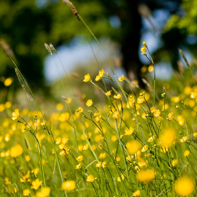 """""""Buttercup Field"""" stock image"""