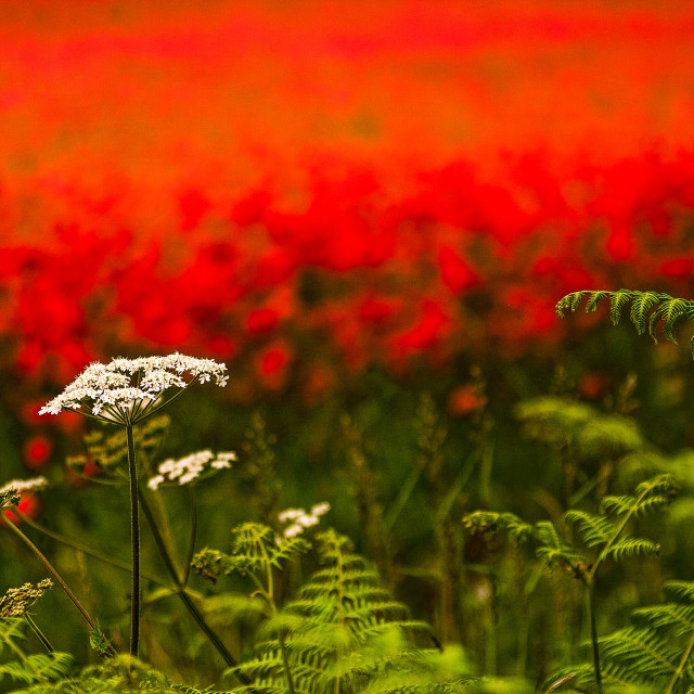 """""""Poppies on the field margin"""" stock image"""