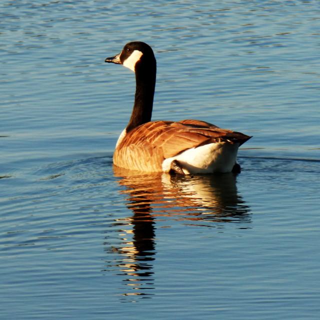 """Pond Goose"" stock image"