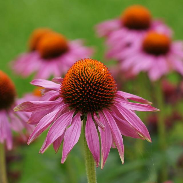 """Echinacea Blooms"" stock image"