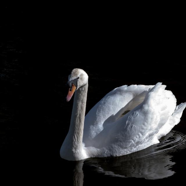 """Mute swan beginning to raise wings"" stock image"