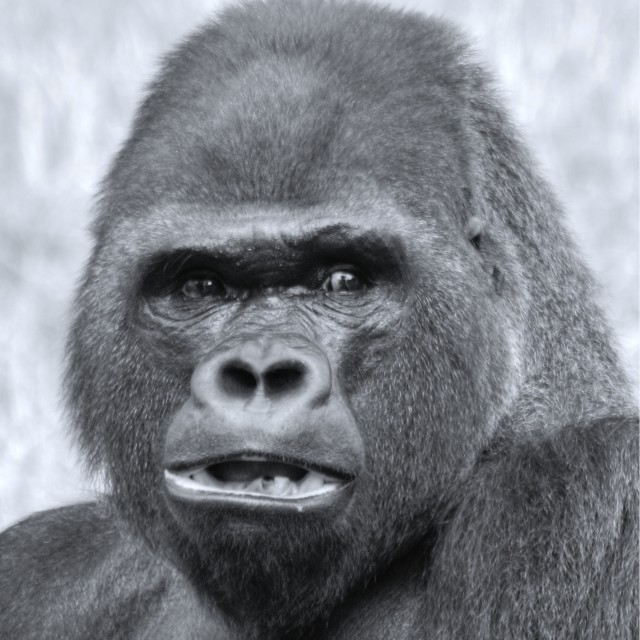 """Silverback"" stock image"
