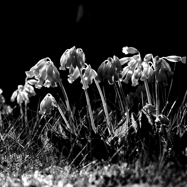 """Black White Cowslip Flowers in Spring"" stock image"