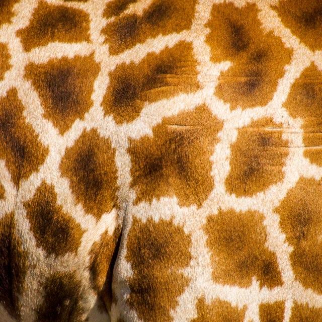 """Giraffe Pattern"" stock image"