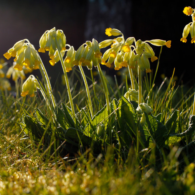 """Cowslip Flowers in Spring"" stock image"