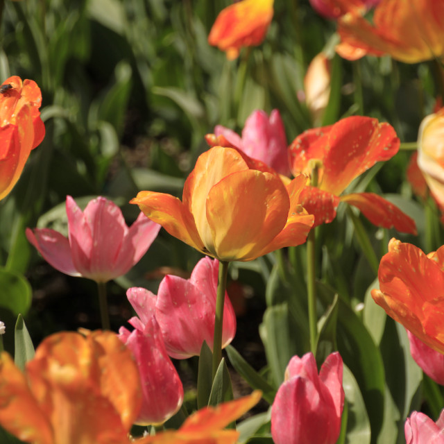 """Cultivated Tulips in Spring"" stock image"