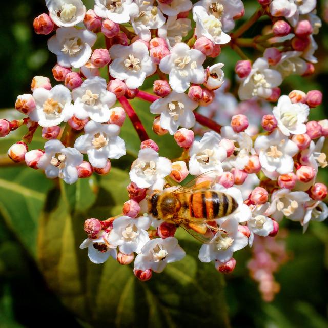 """Bee on Tree Flowers"" stock image"