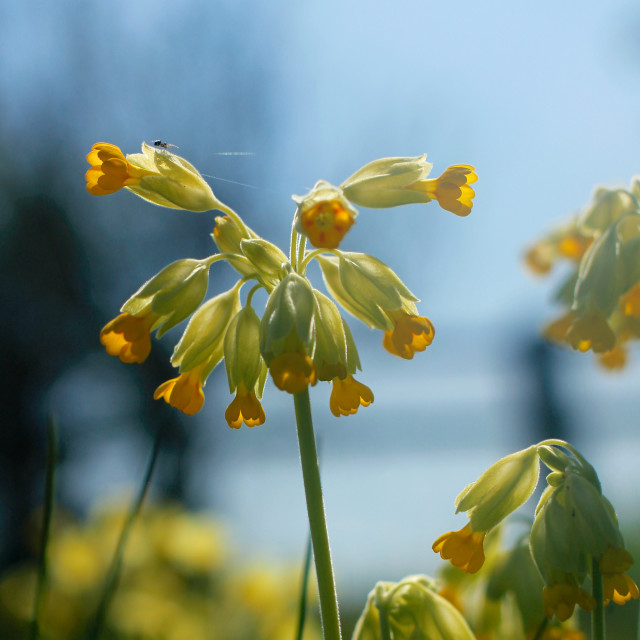 """""""Cowslip Flowers and Spider in Spring"""" stock image"""
