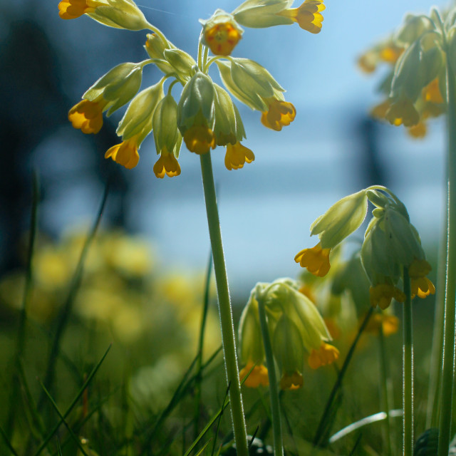 """Cowslip Flowers and Spider in Spring"" stock image"