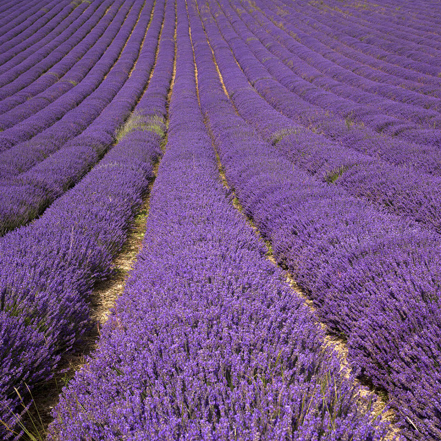 """""""Sussex lavender field"""" stock image"""