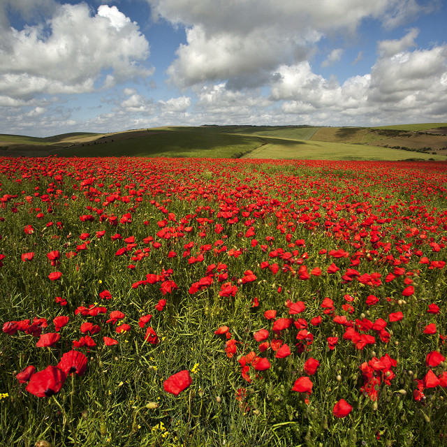"""""""Poppy field on the South Downs"""" stock image"""