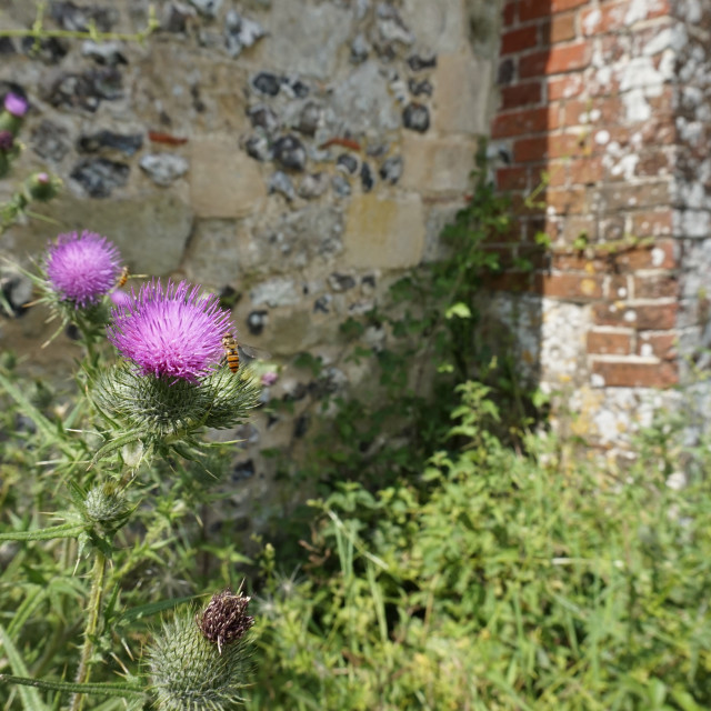 """Thistle and insect"" stock image"
