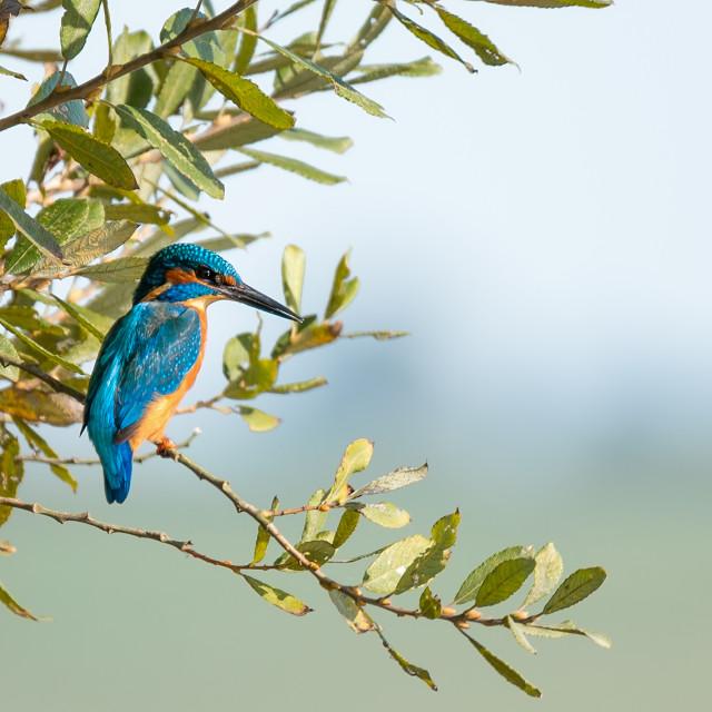 """Common European Kingfisher"" stock image"