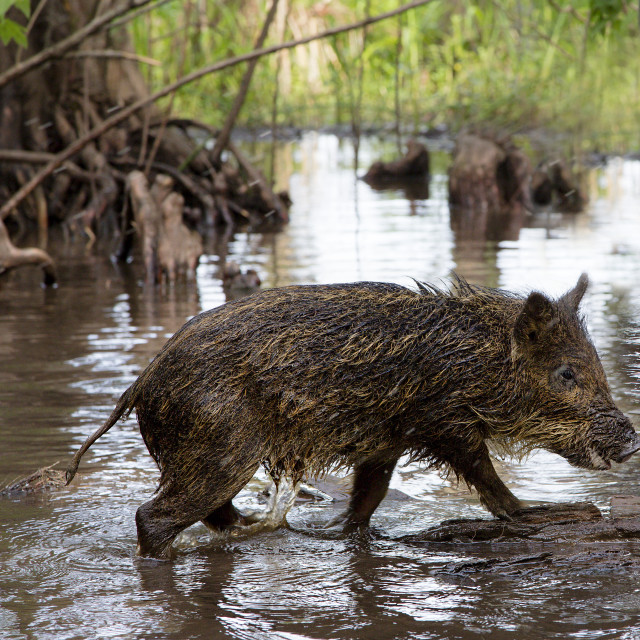 """Wild Hog at Honey Swamp, Louisiana"" stock image"