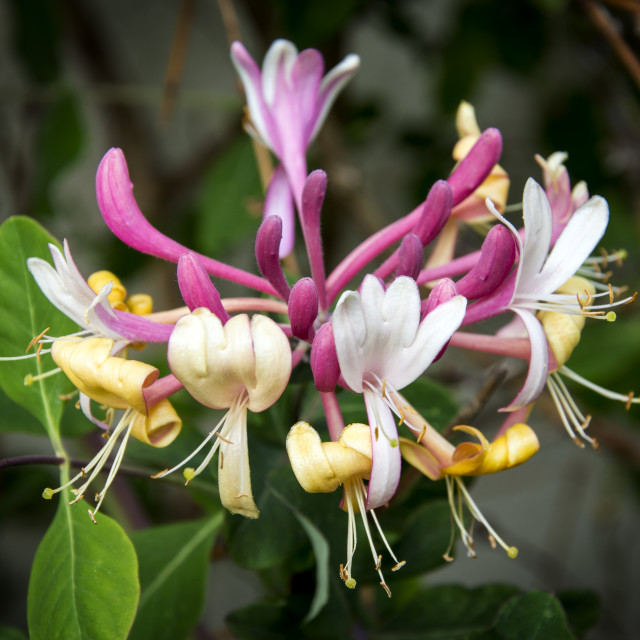 """Honeysuckle."" stock image"
