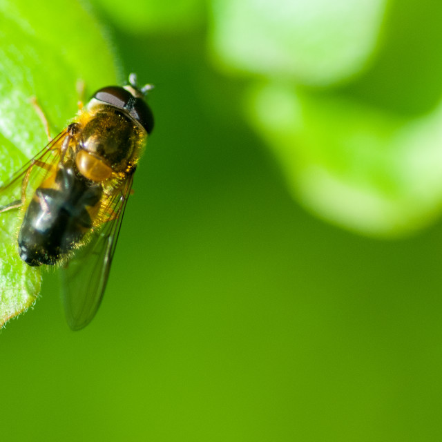 """Hoverfly"" stock image"
