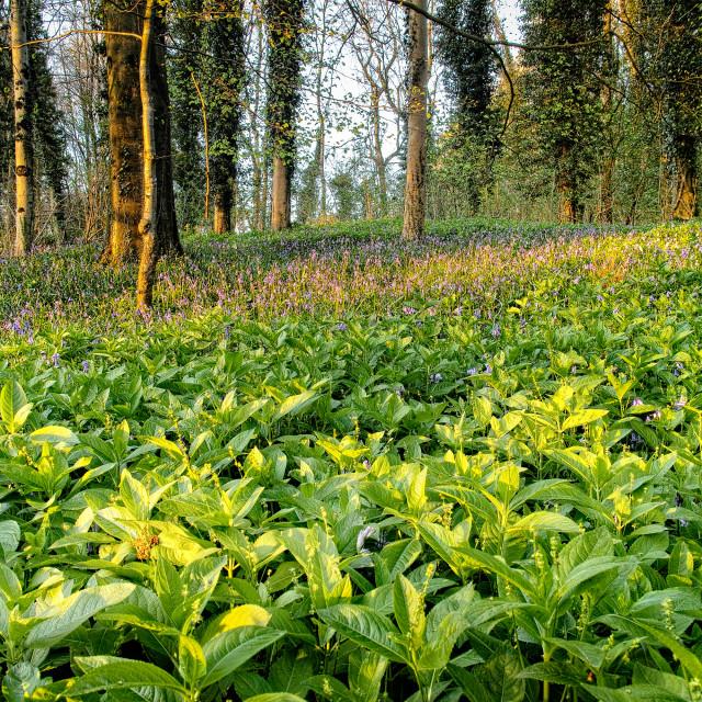 """""""Evening woodland"""" stock image"""