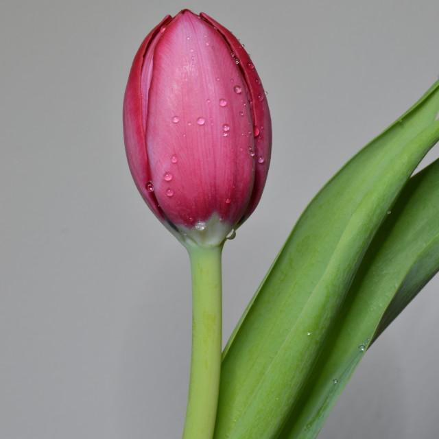 """Tulip Drops"" stock image"