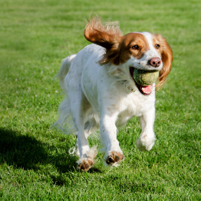 """A working cocker spaniel playing"" stock image"