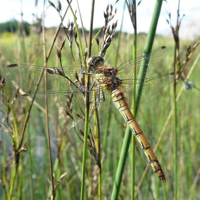 """""""Common Darter (Sympetrum striolatum)"""" stock image"""