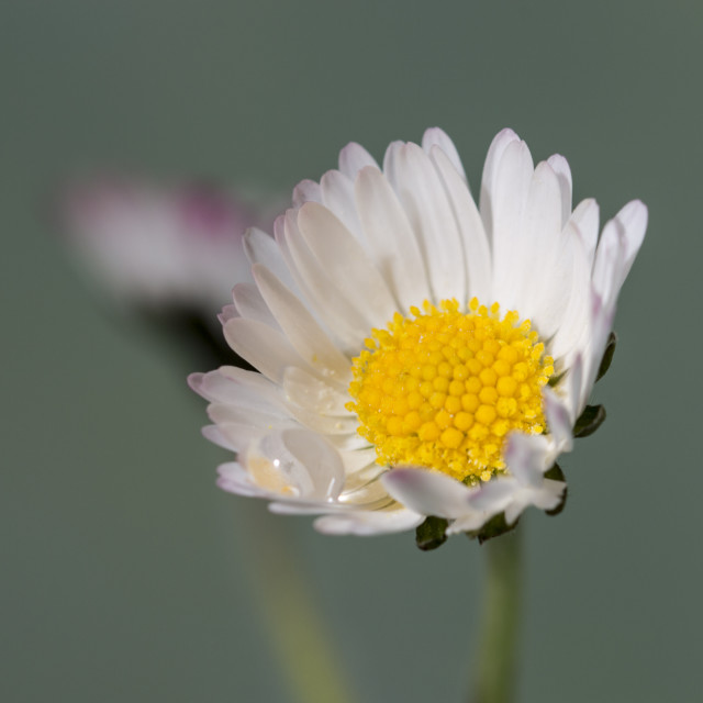 """""""Just Daisies"""" stock image"""