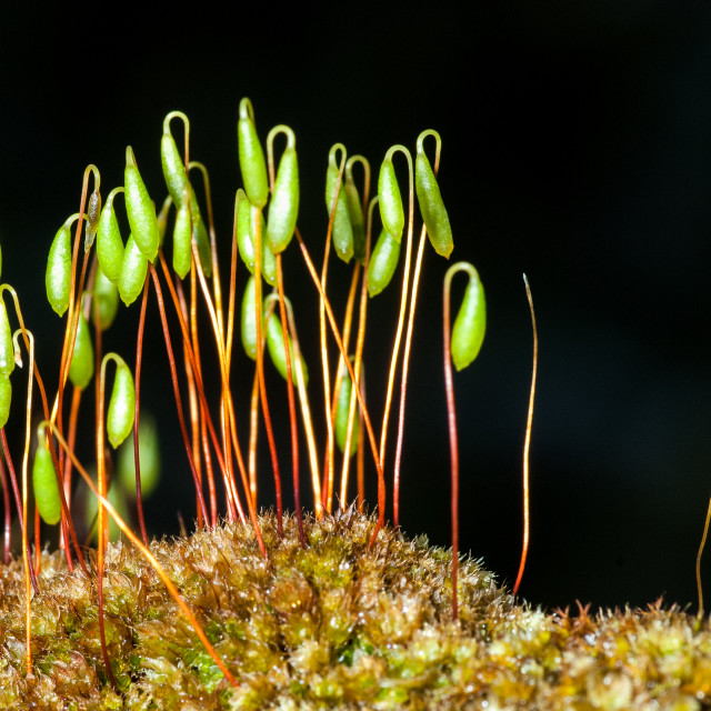 """Hair moss"" stock image"