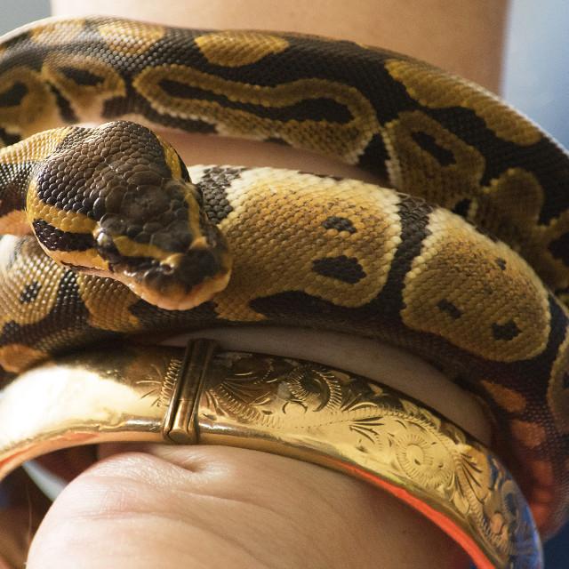 """Python for a bracelet"" stock image"