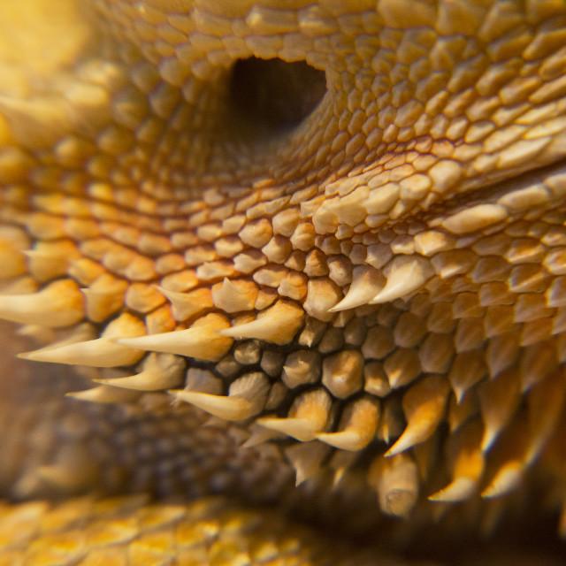 """thorny dragon"" stock image"