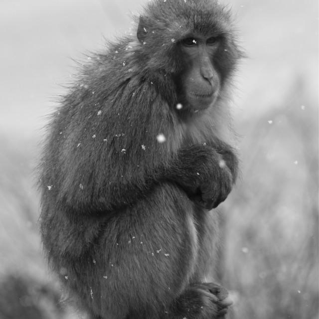 """Contemplative monkey"" stock image"