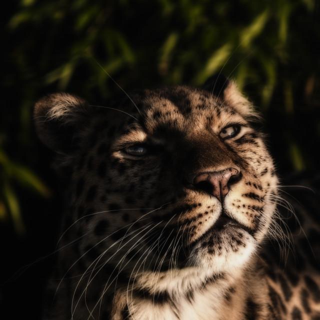 """Face of an Amur Leopard"" stock image"