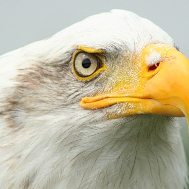 """Fish Eagle Headshot"" stock image"