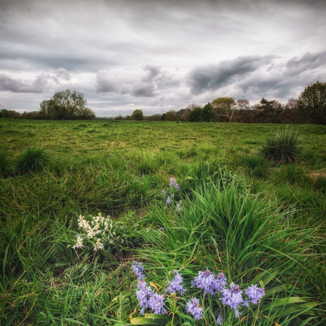 """Bluebells, Grey Skies"" stock image"