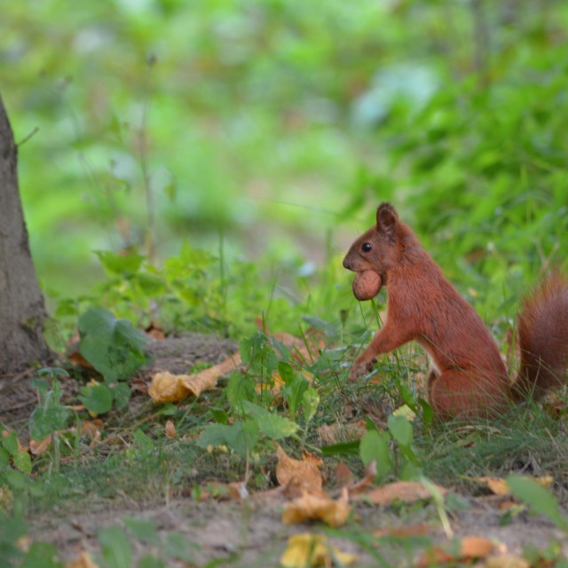 """Common red squirrel eating a nut"" stock image"