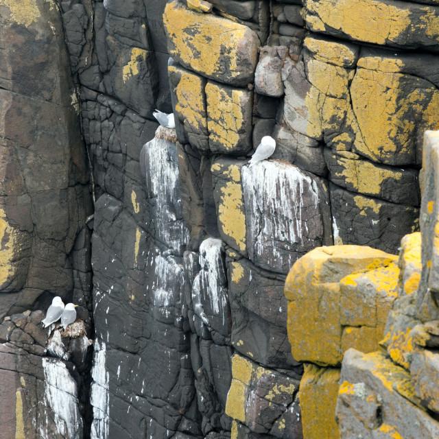 """Gulls on cliffs"" stock image"