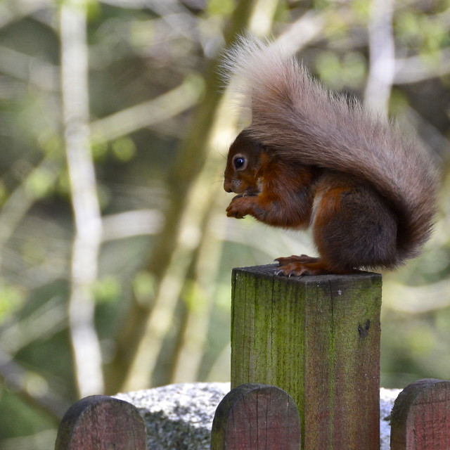"""Red Squirrel feeding"" stock image"