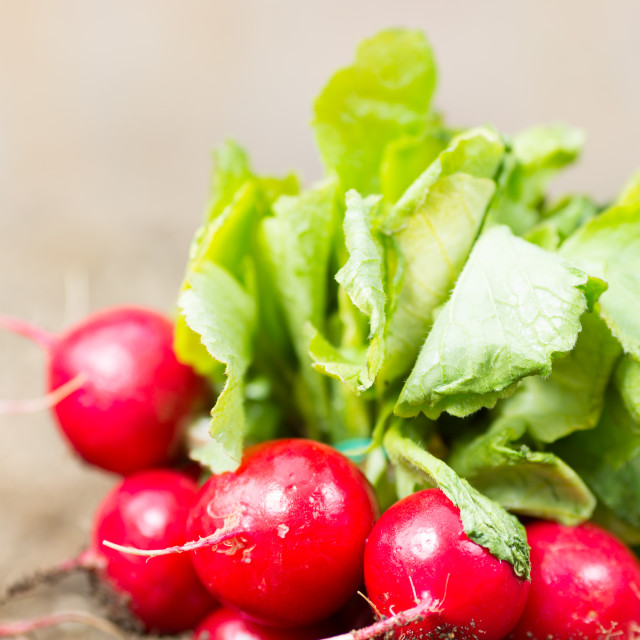 """""""Radishes in the garden"""" stock image"""