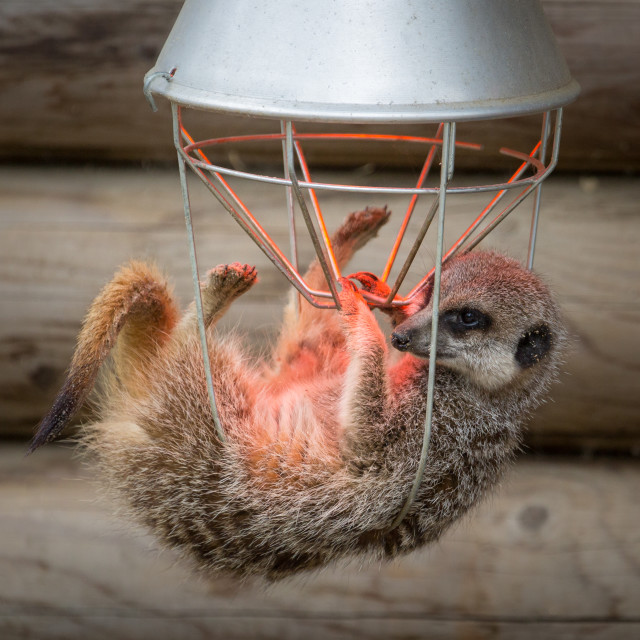 """Meerkat Keeping Warm under Heatlamp."" stock image"